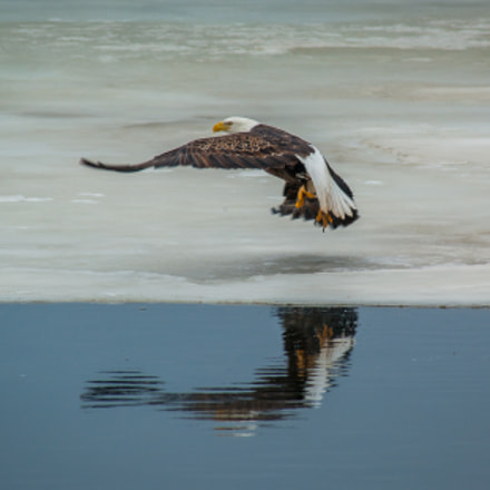 Bald Eagle Launch, Minnesota, Sony DSLR-A350, Tamron SP AF 200-500mm F5.0-6.3 Di LD IF