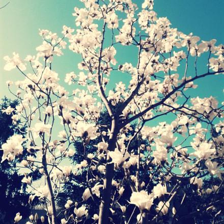 Magnolia blossom 玉兰花开