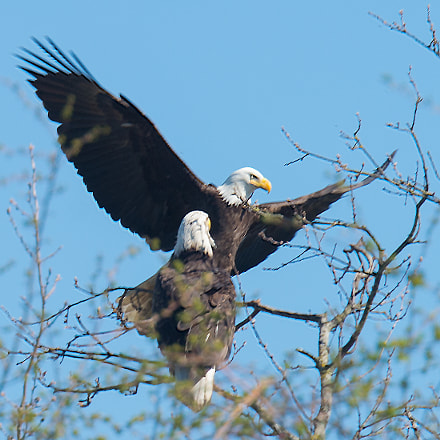 Couple of Bald Eagles -, Nikon D4S, AF-S DX VR Zoom-Nikkor 18-55mm f/3.5-5.6G