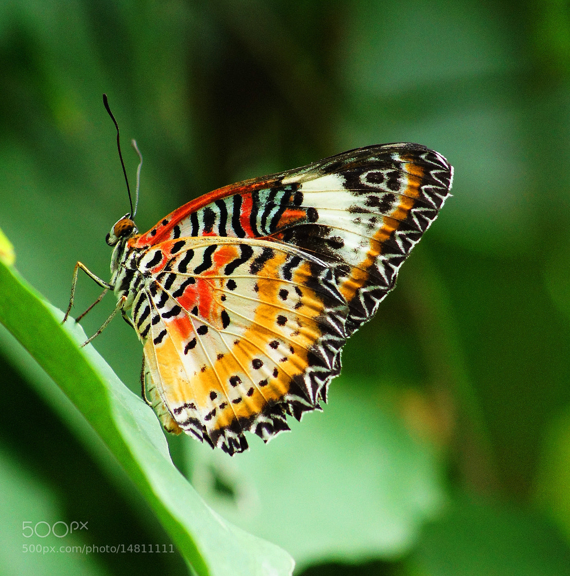 Photograph Painted Lady Butterfly by Aric Jaye on 500px