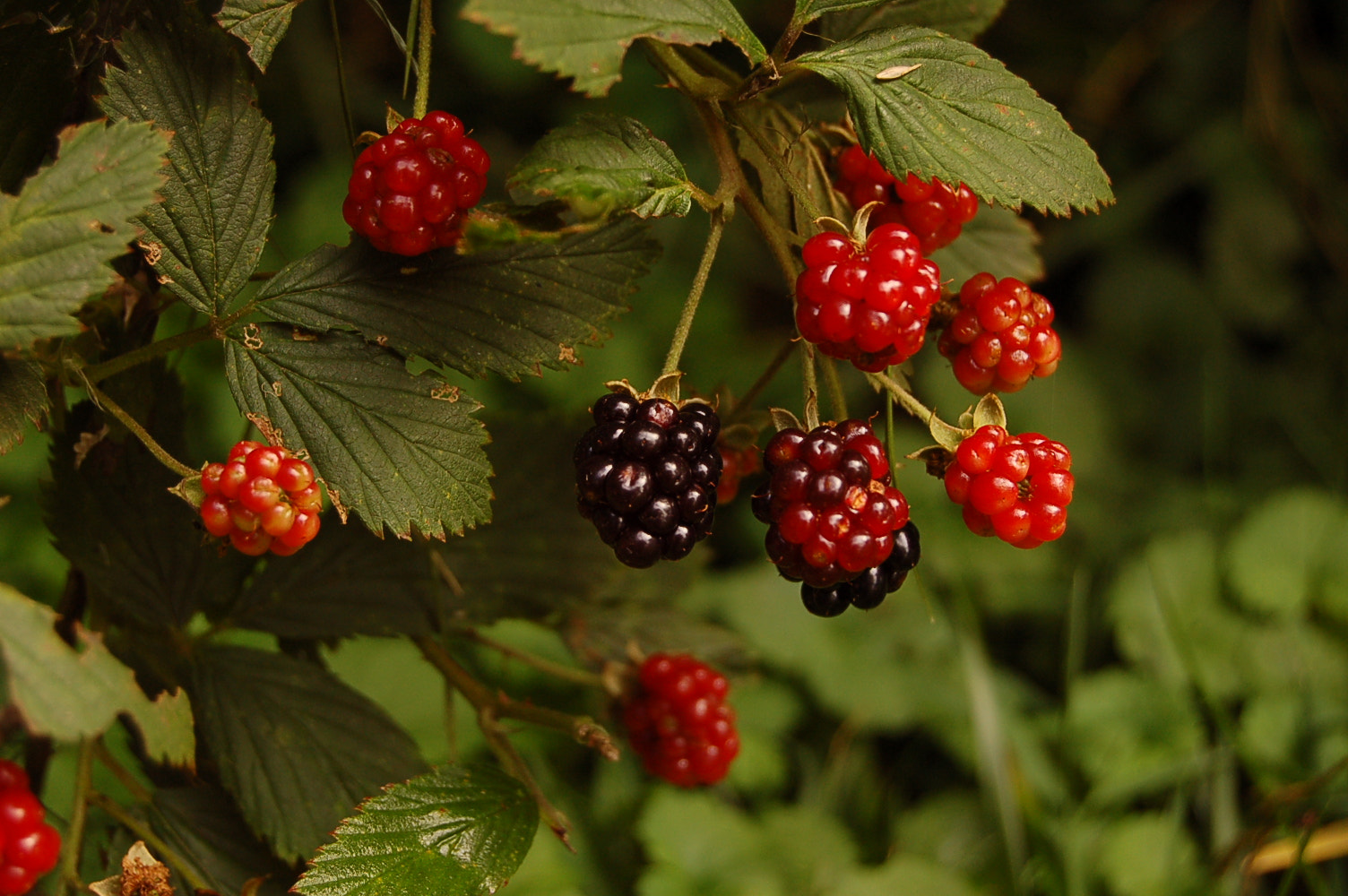 Photograph Blackberries by Bethany Clara on 500px