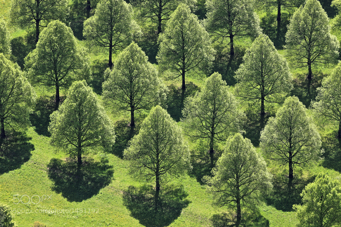 Photograph Lime trees in rows by Klaus Leidorf on 500px