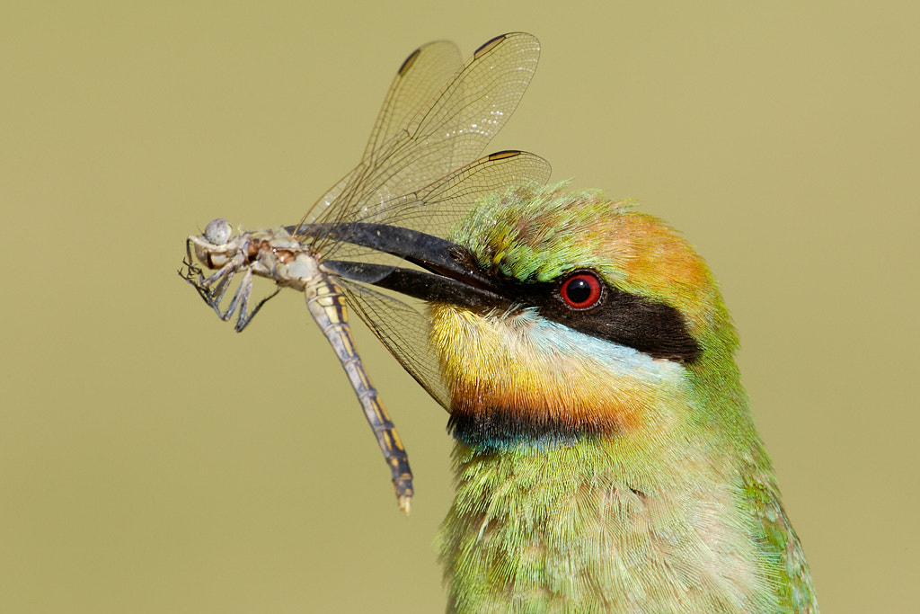 Photograph Bee-eater with lunch by Ofer Levy on 500px