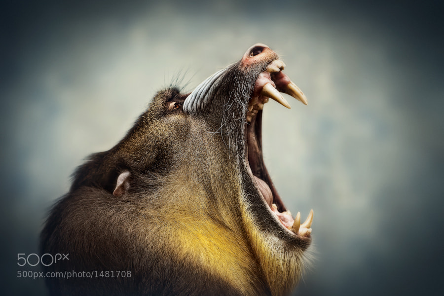 Terribly tired Mandrill by Manuela Kulpa (erblicken) on 500px.com
