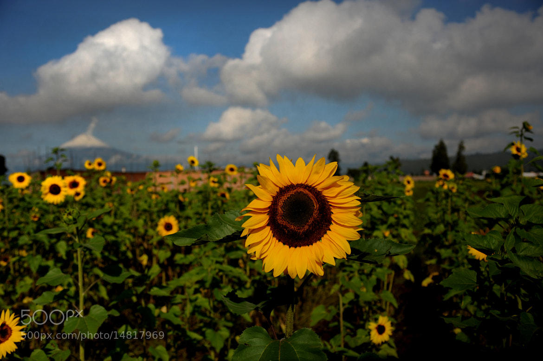 Photograph Sunflowers field and smoking volcano by Cristobal Garciaferro Rubio on 500px