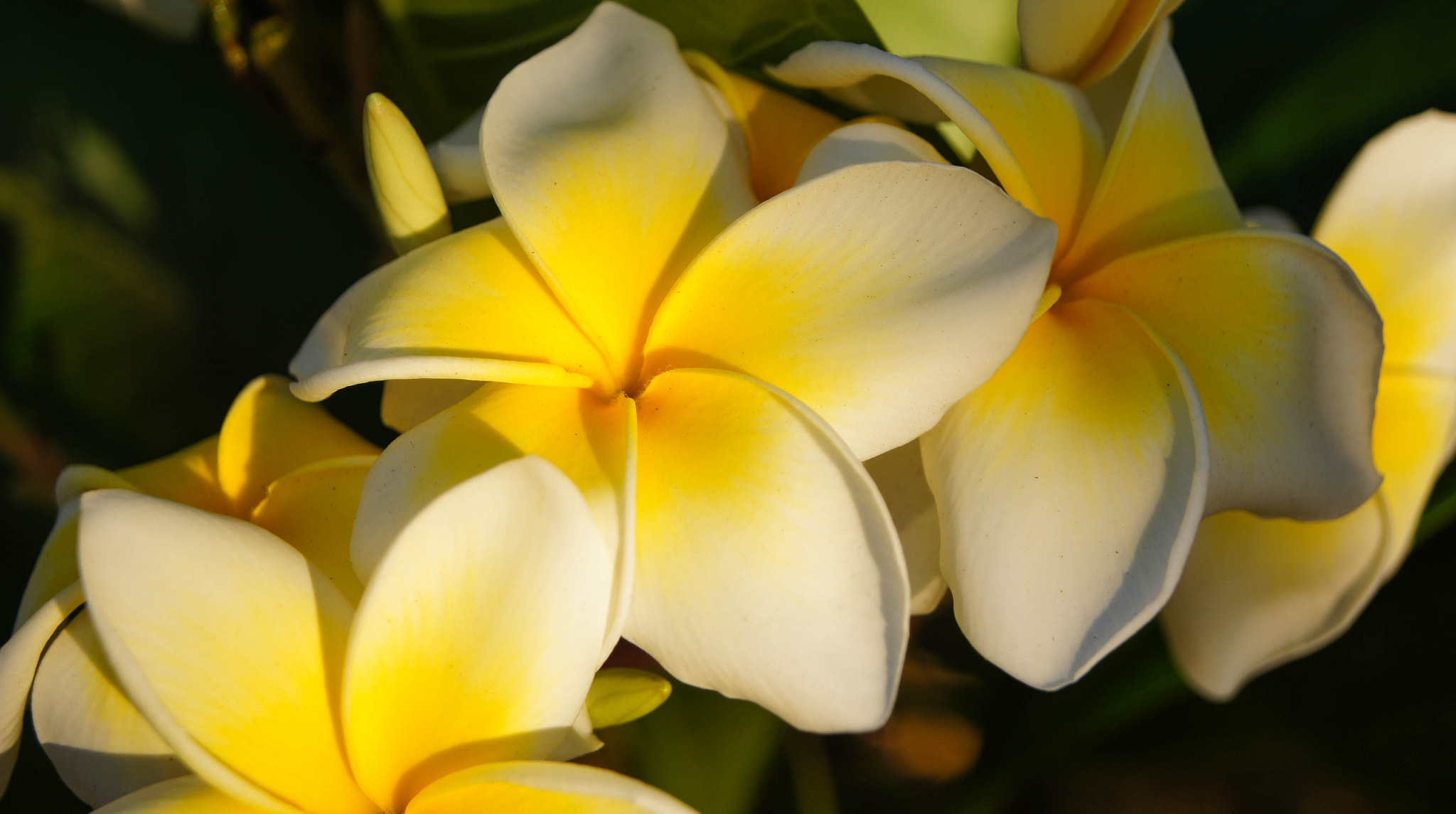 Photograph The Frangipani Next Door by Erik Anderson on 500px