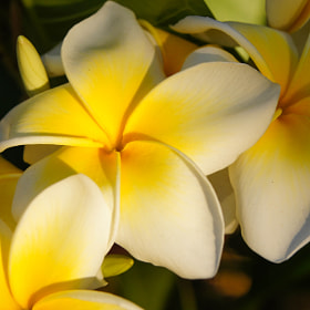 The Frangipani Next Door by Erik Anderson (bearseyephoto)) on 500px.com