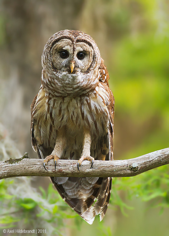 Photograph Barred Owl by Axel Hildebrandt on 500px