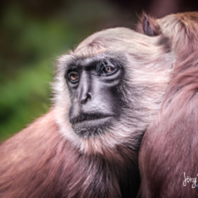 Affe | Monkey