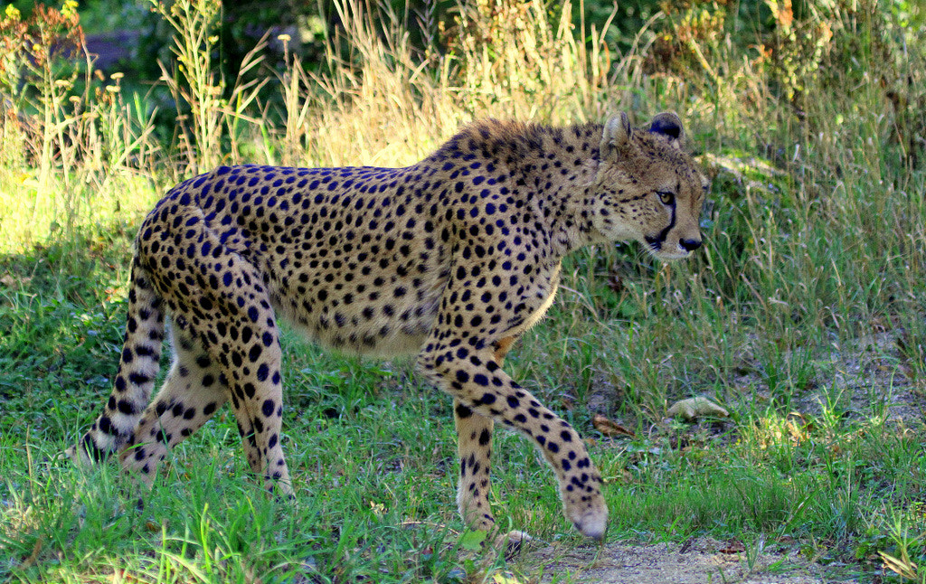 Photograph Cheetah is walking along by Rainer Leiss on 500px