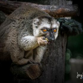 Katta | Lemur