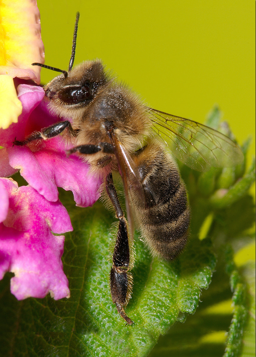 Photograph Bee on Lantana Flower by Phil Cousins on 500px