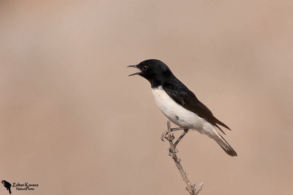 Photograph Hume's wheatear (Oenanthe alboniger) by Zoltan Kovacs on 500px