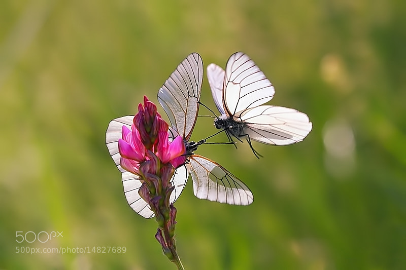 Photograph double butterfly by Thibaut Blais on 500px