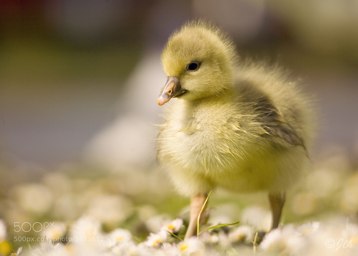 Photograph The Gosling by Jo Hopgood on 500px