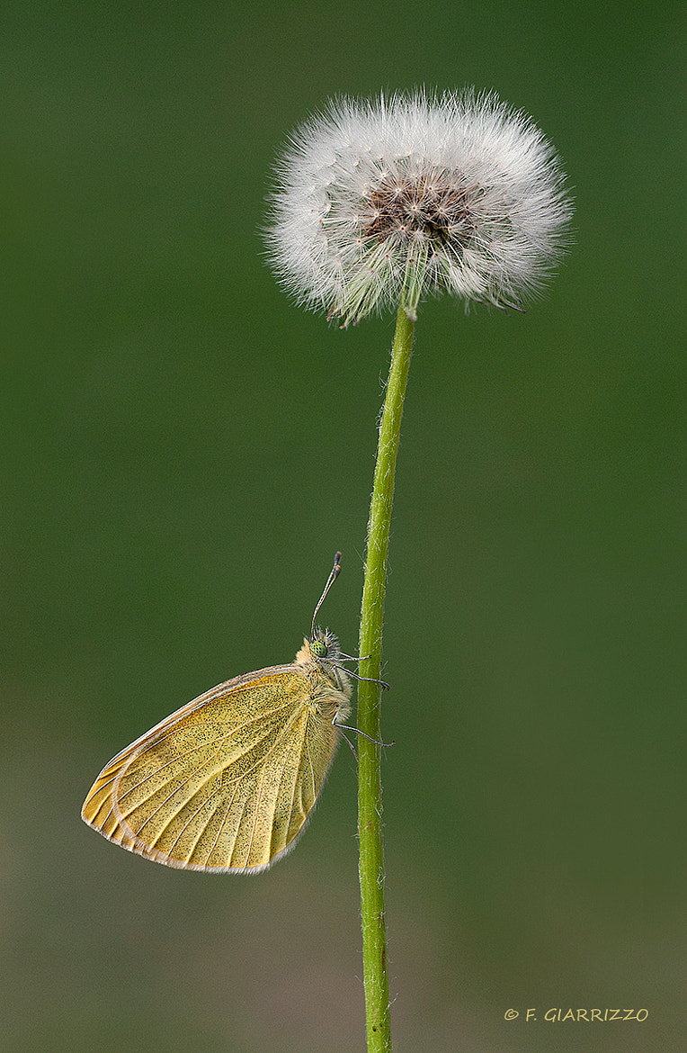 Photograph Small white and dandelion by Fabio Giarrizzo on 500px