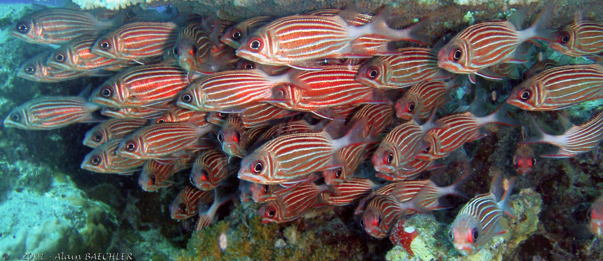 Photograph Crown Squirrelfish by Alain Baechler on 500px