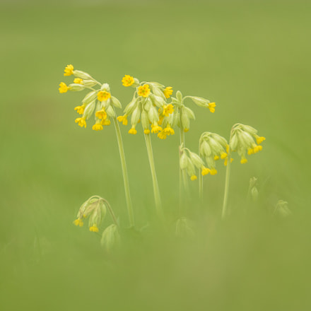 Common cowslip, Nikon D7200, Sigma 135-400mm F4.5-5.6 APO Aspherical