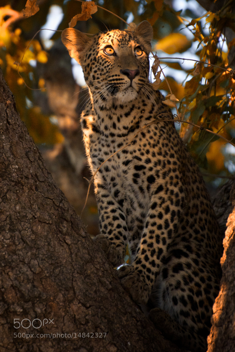 Photograph Leopard Eyes by Nicole Cambré on 500px
