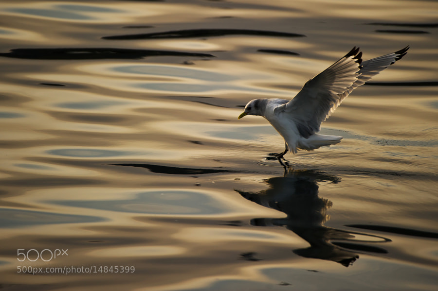 Photograph Seagull in afternoon light. by Geir Magne  Sætre on 500px