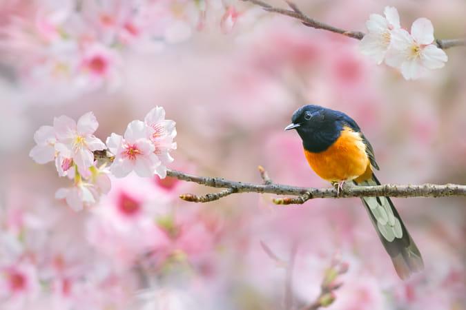 Spring Singer