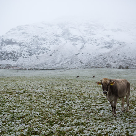 Cattle in 1st Snow