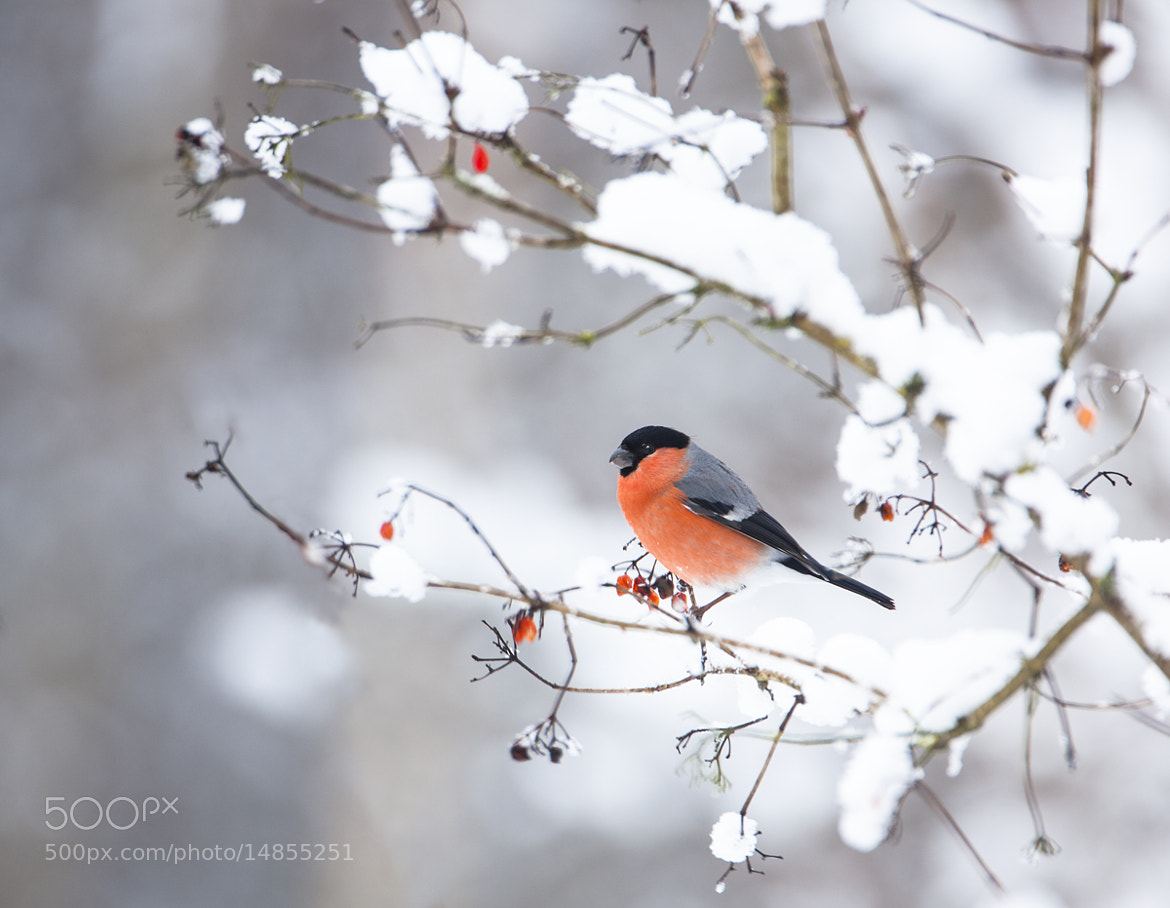 Photograph Bullfinch in snow by Keith Burtonwood on 500px