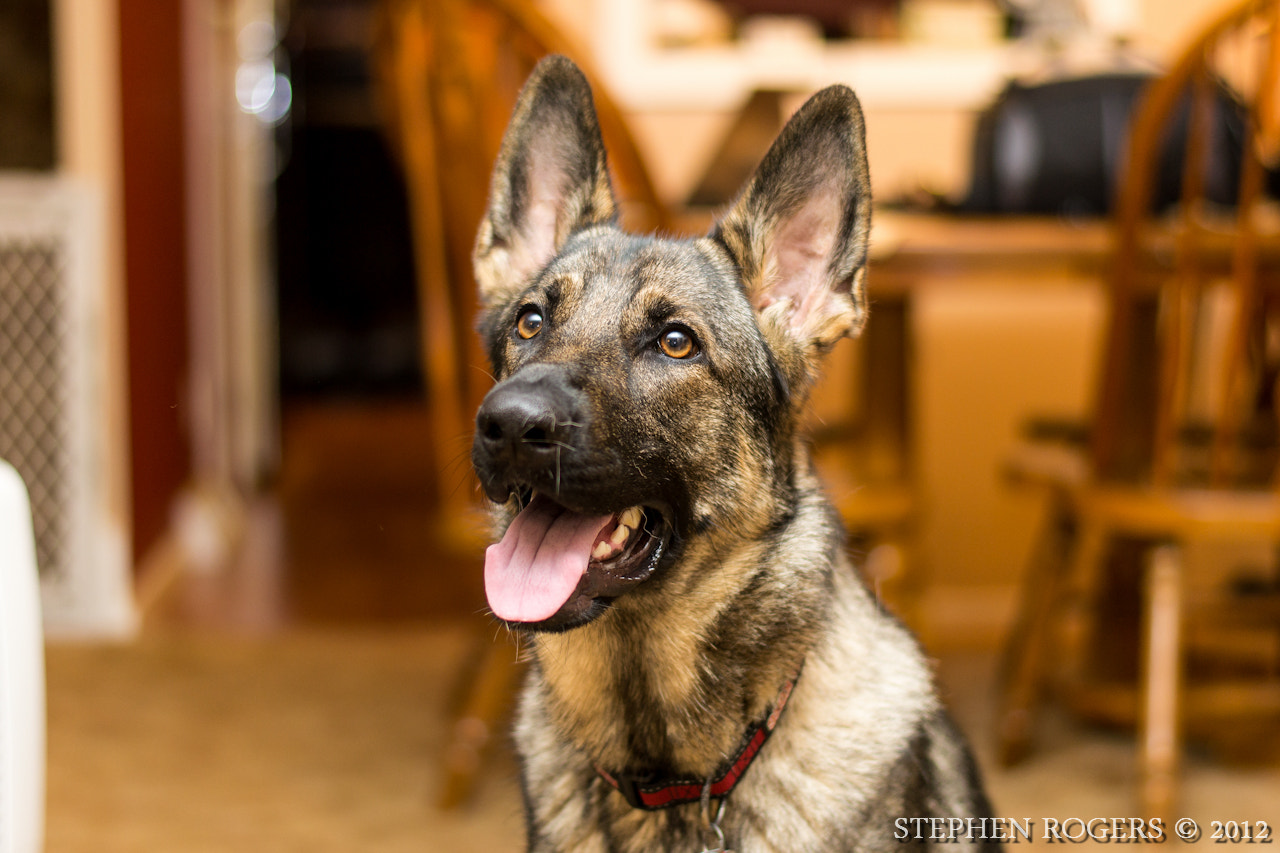 Photograph My GSD, Bella by Stephen  Rogers on 500px