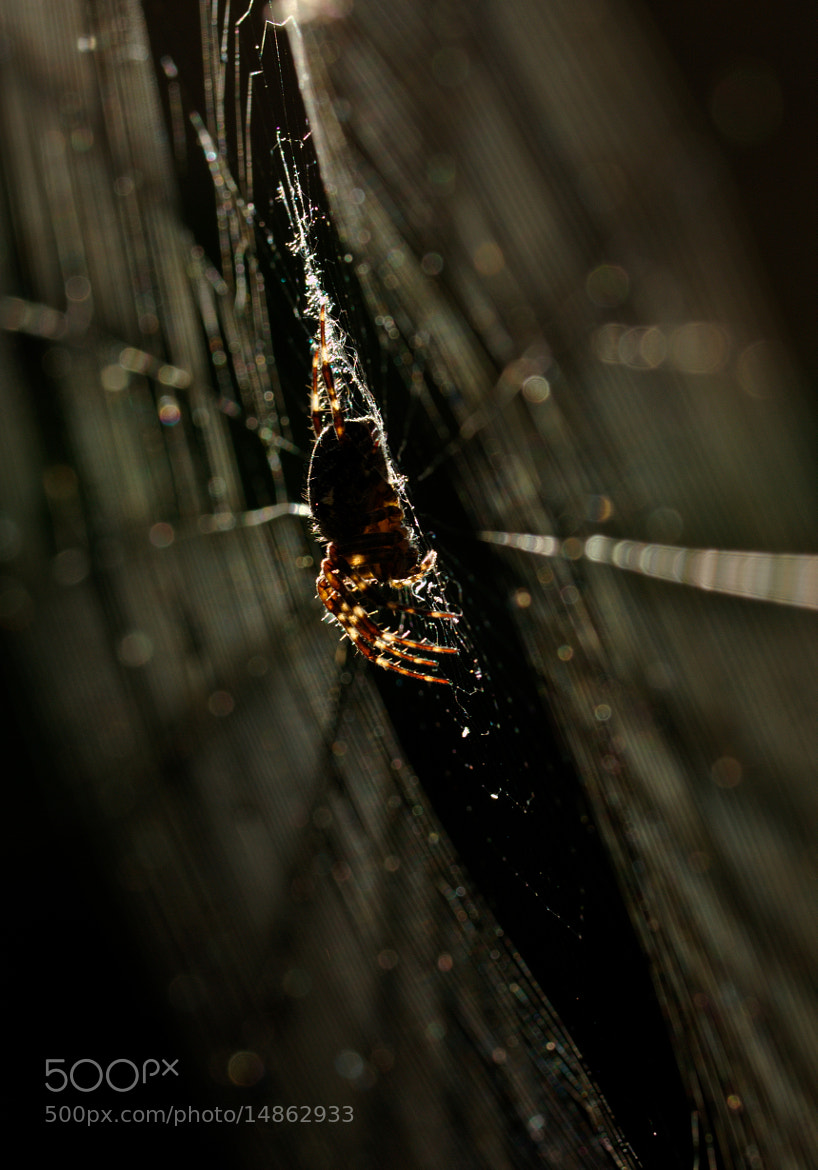 Photograph Backlit garden spider by Samuel Aron on 500px