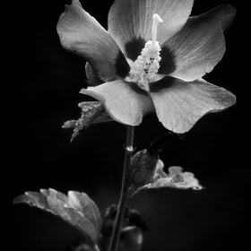 Ghostly flower by Zdravko  Horvat (zdravc69)) on 500px.com