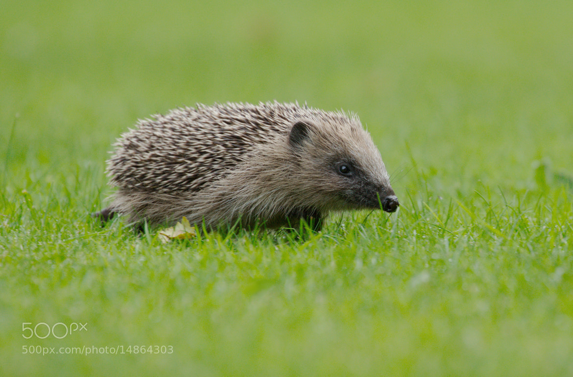 Photograph Hedgehog by Samuel Aron on 500px