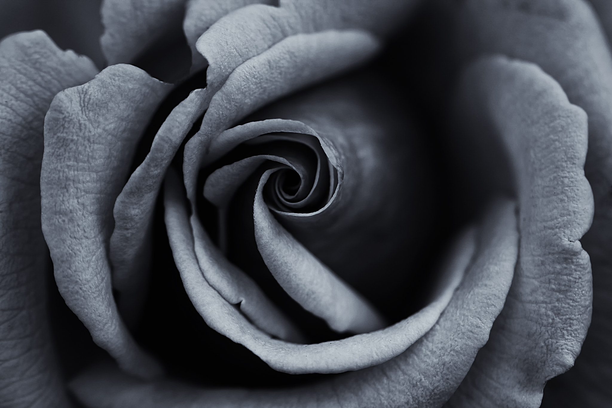 Photograph Black and White Rose by Georgina Gomez on 500px