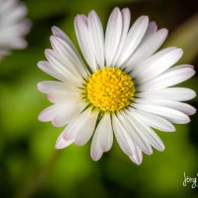 Gänseblümchen | Daisy