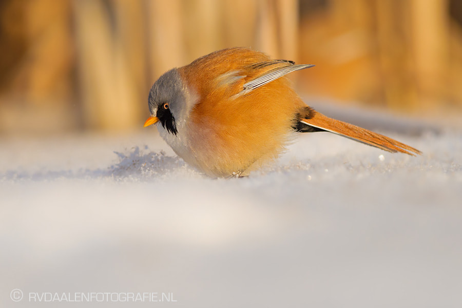 Photograph Angry Bird by Remco van Daalen on 500px