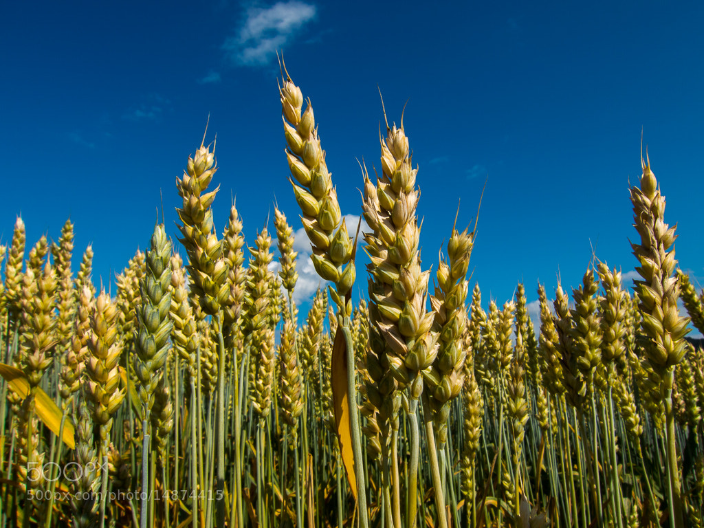 Photograph Wheat by Geir A Granviken on 500px
