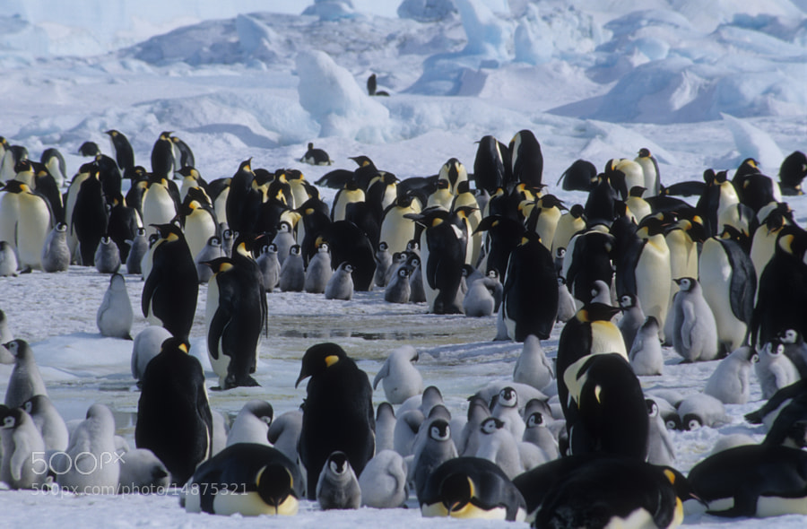 Photograph Emperor Penguins by Cornelia Braun on 500px