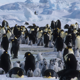 Emperor Penguins by Cornelia Braun (cbphotoworld)) on 500px.com