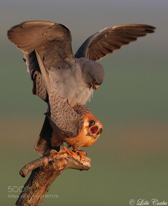 Photograph Mating by Csaba Loki on 500px