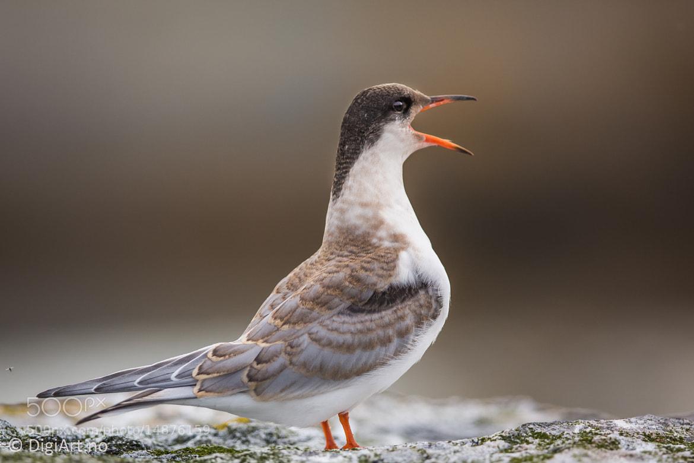 Photograph Screaming Tern | Skrikende Terne by Kay-Åge Fugledal on 500px