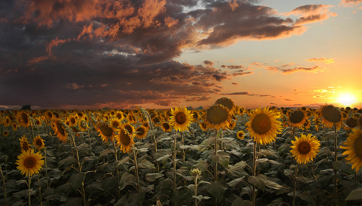 Photograph Sunflowers. August. by Лия Васильева on 500px