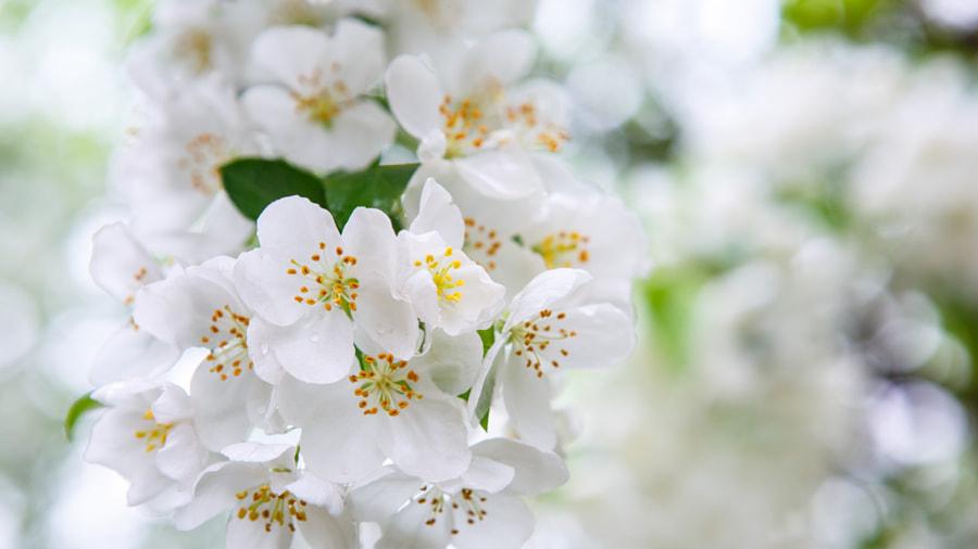樱花  cherry blossom by feng xu on 500px.com