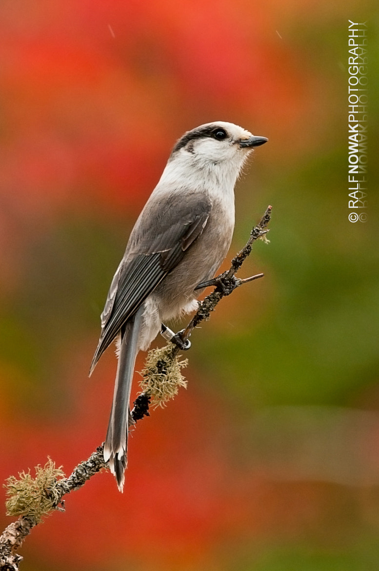 Photograph Gray Jay by Rafal Nowak on 500px