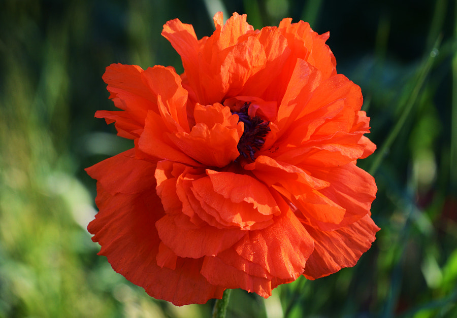 Poppy by Kimberly Hicks on 500px