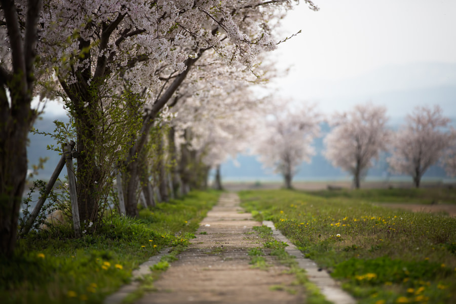 Blossoms by MIYAMOTO Y on 500px.com