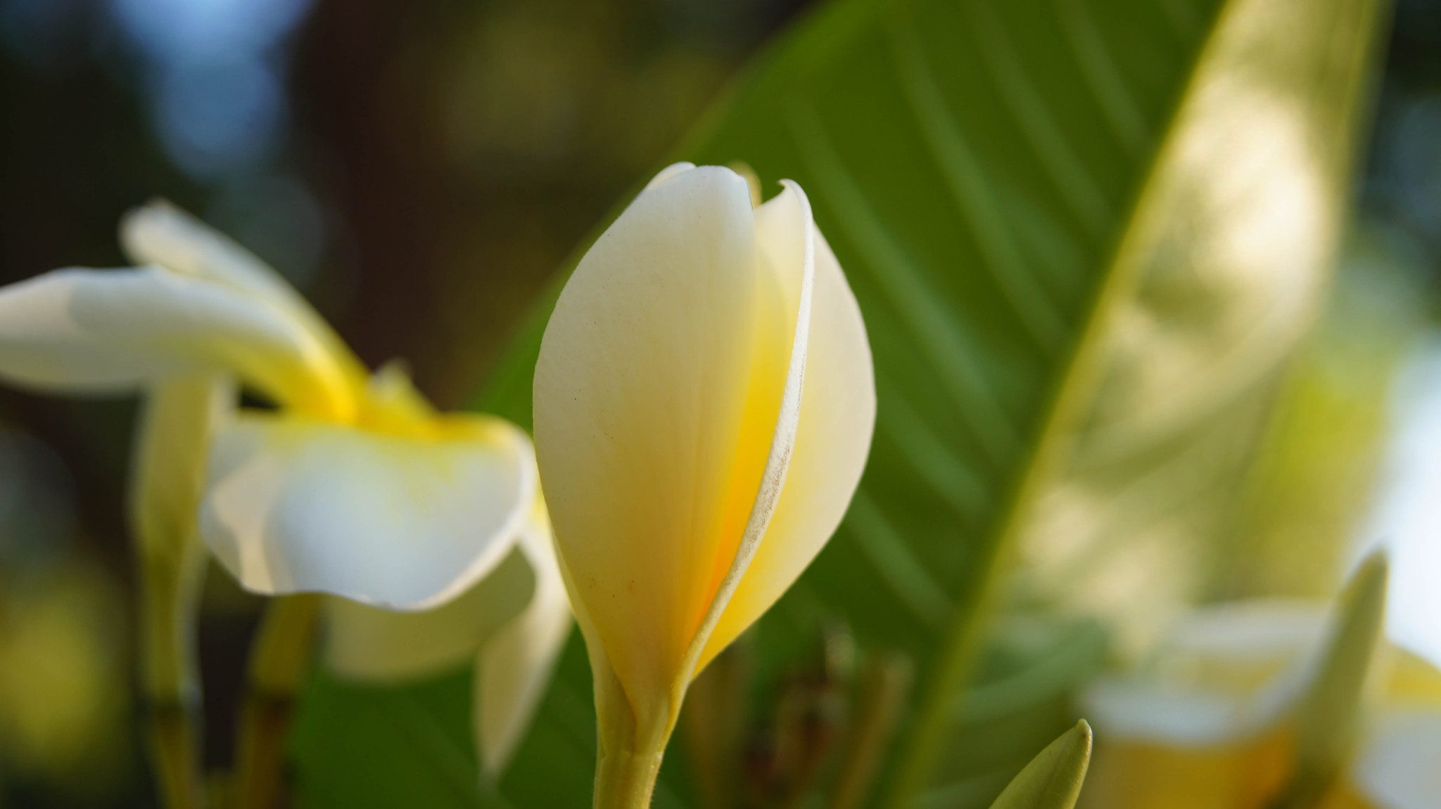 Photograph Plumeria Baby by Erik Anderson on 500px