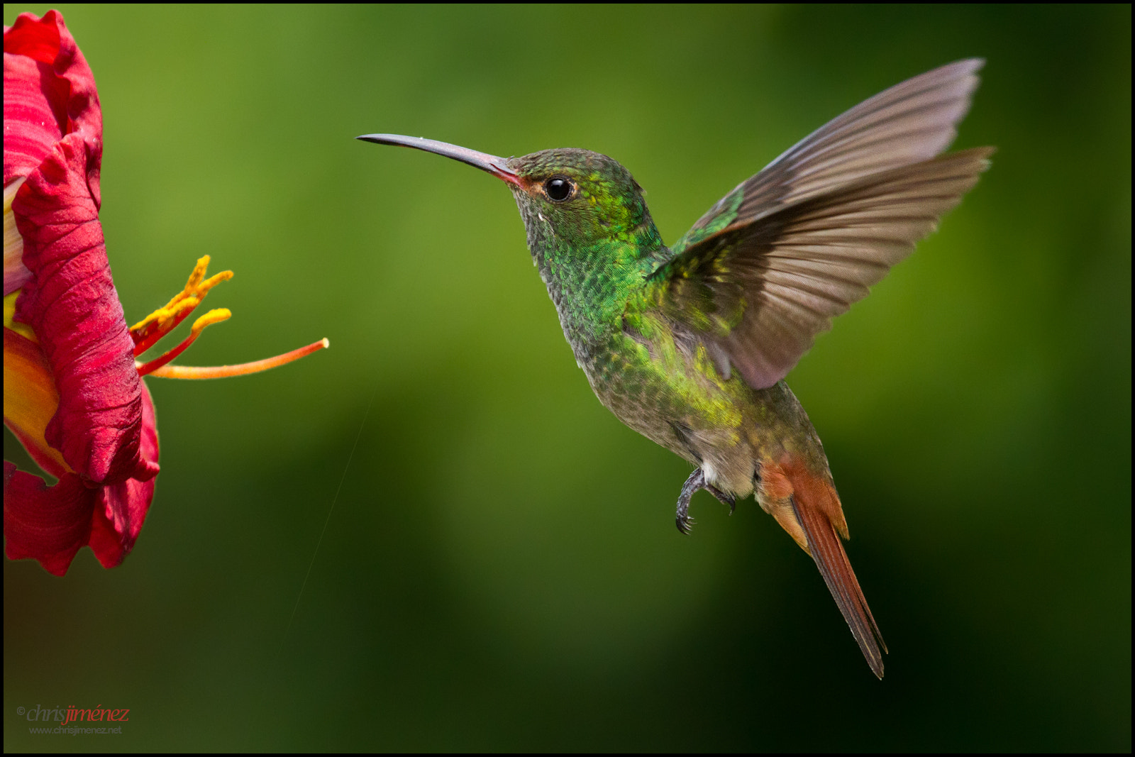 Photograph Rufous-tailed Hummingbird by Chris Jimenez on 500px