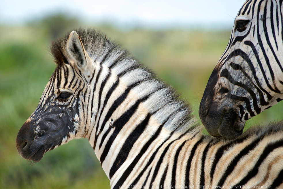 Photograph Zebra by Simone and Stefan Brausch on 500px