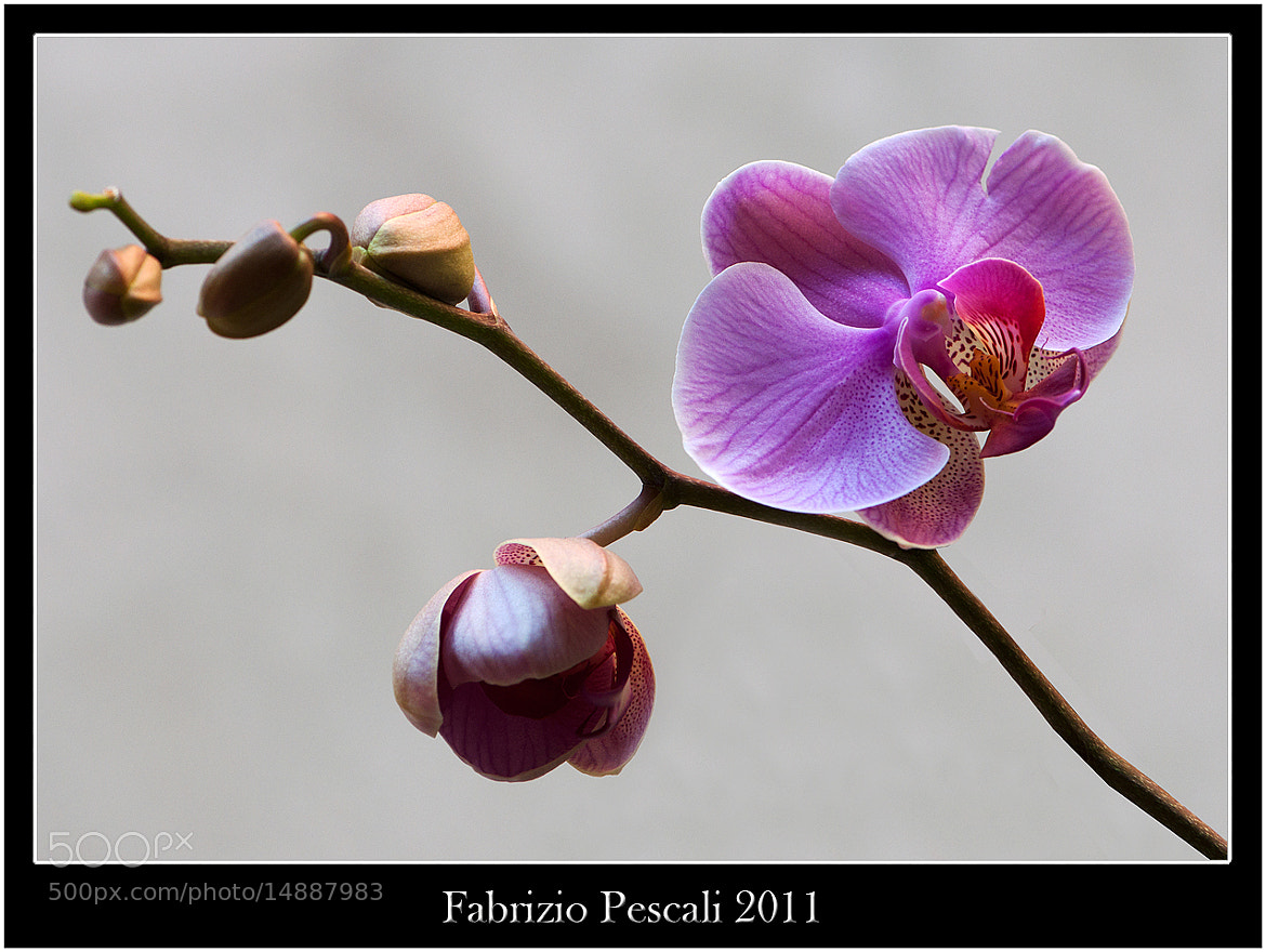 Photograph Orchidea-Orchid by Fabrizio Pescali on 500px