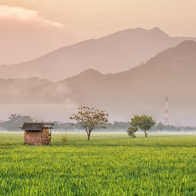 Hut In the Middle Of Rice Fields