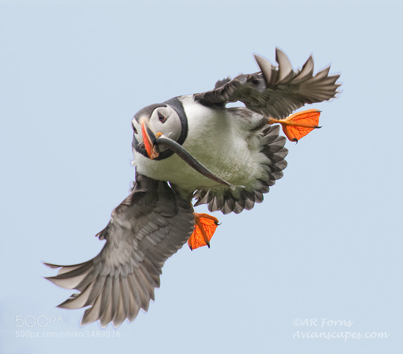 Photograph Intense puffin !!! by Alfred Forns on 500px